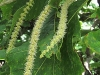 americanchestnutmaleflowers