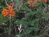 butterflyweed