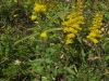 graygoldenrod