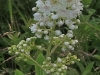 meadowsweet