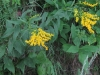 rough-stemmedgoldenrod