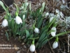 snowdrops