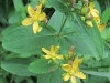 spottedstjohnswort