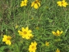 tickseedsunflower