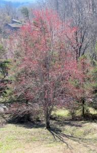 Red Maple flowering