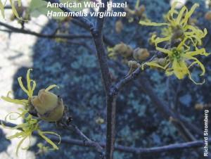 WitchHazelflowersandfruit