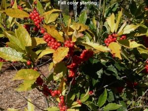 Winterberry fall color