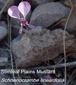 slimleaf plains mustard