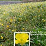 Bulbous Buttercup (Ranunculus bulbosus)
