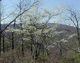 Wild Serviceberry