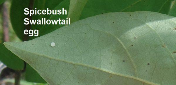 spicebush swallowtail egg