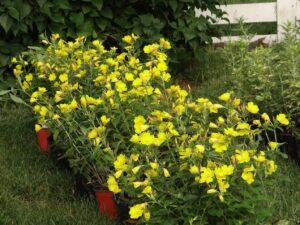 Sundrop flowers