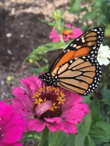 Butterfly on zinnia