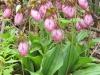 pinkladysslipper