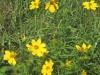 tickseedsunflower