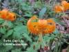 turkscaplily