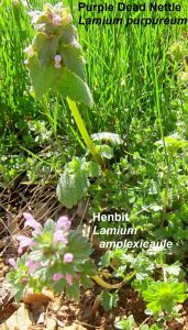 Purple Dead nettle and Henbit